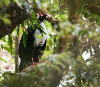 Horned guan - Photo: Dave Krueper
